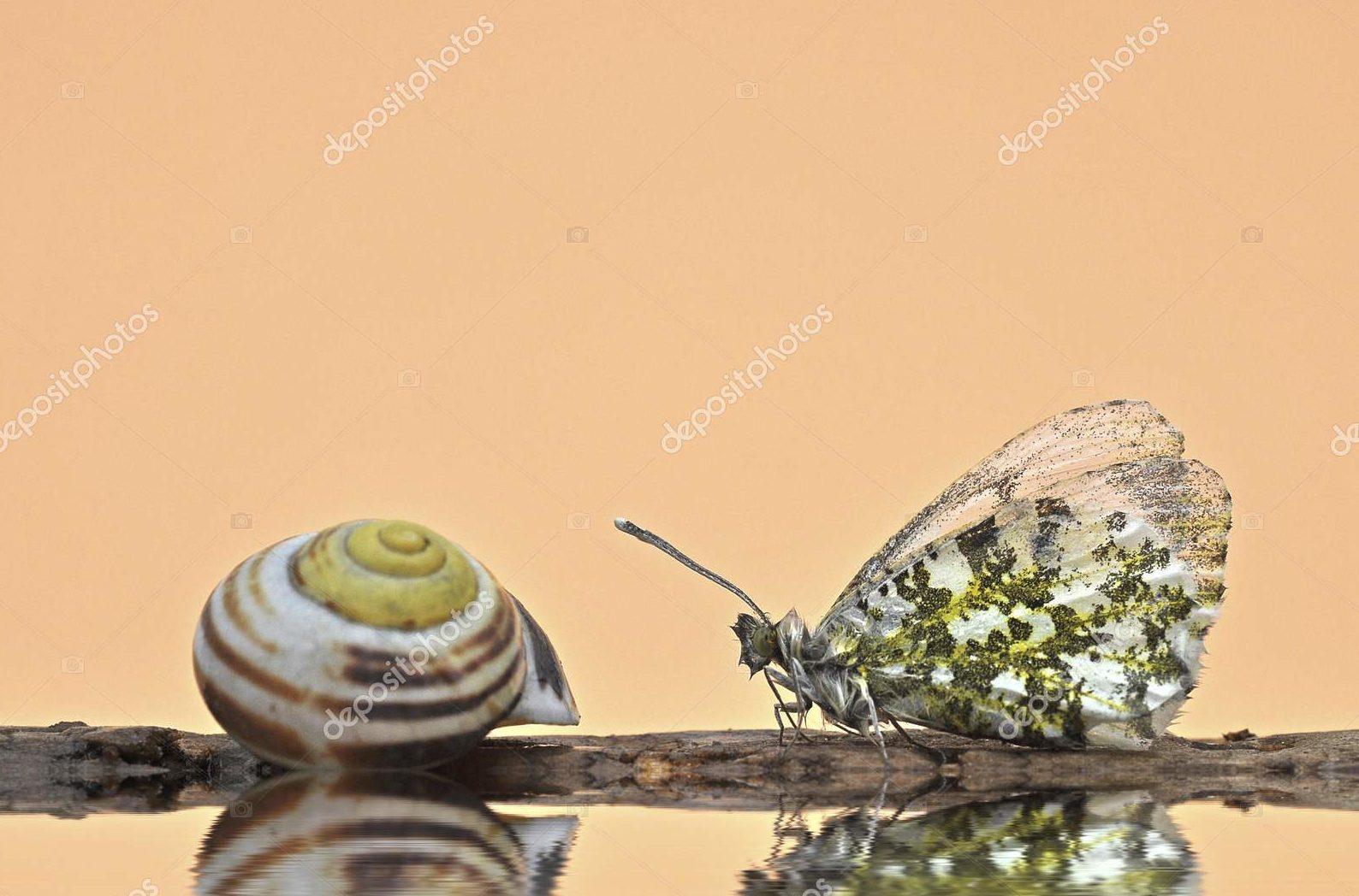 Бабочка с раковиной улитки