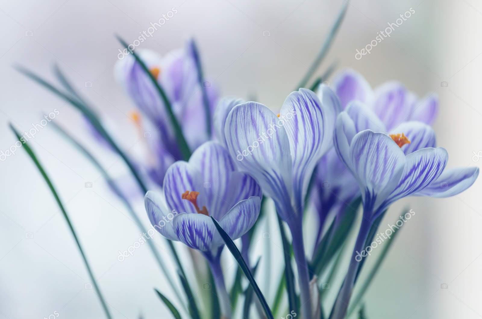Голубые крокусы